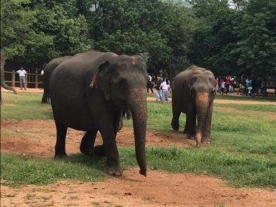 The elephants seen at a sanctuary in Kandy