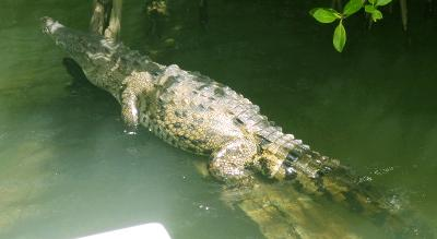 Spotted a crocodile