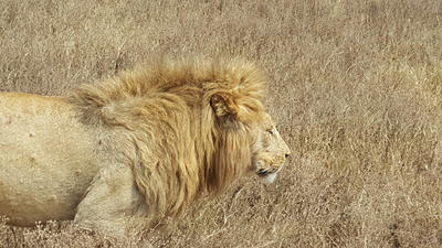 A lion spotted on safari in Tanzania
