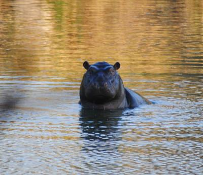 One of many hippopotami we saw