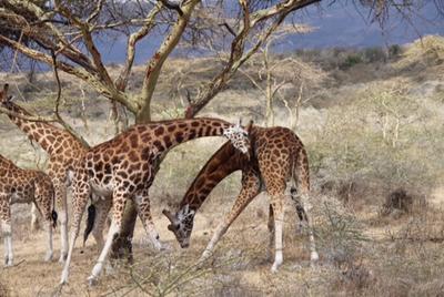 The Rothschild giraffe in the Soysambu Conservancy