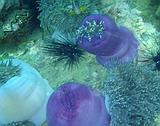 Sea anemones & anemonefish