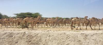 A Herd of Camels in Kenya