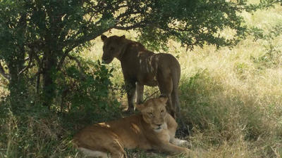 Lions seen in the wild by volunteers