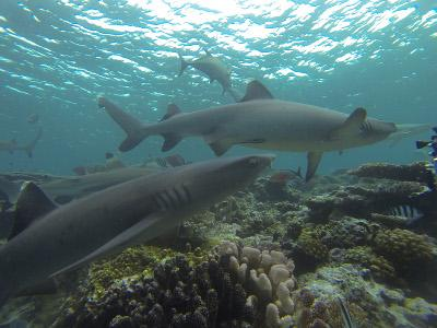 Fiji White-Tip Reef Shark