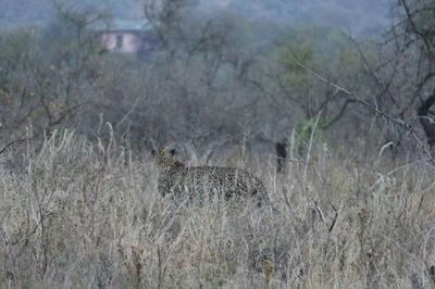 A leopard at Soysambu Conservancy