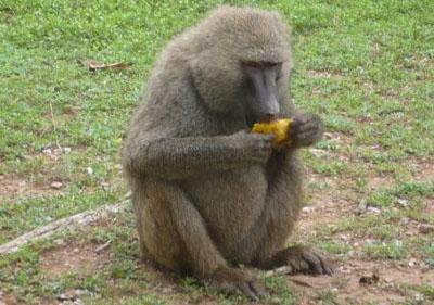 Baboon at Mole National Park