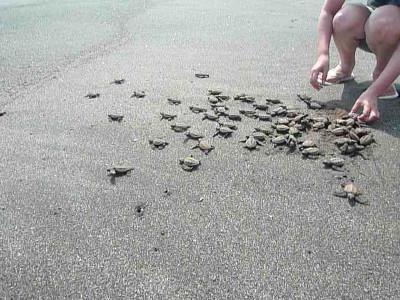 Releasing hatchlings