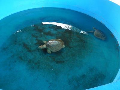 The injured turtles