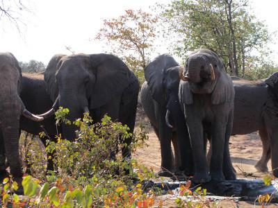 Elephants walking around