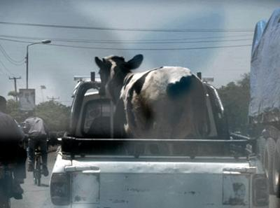 Cow in a truck