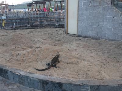 An iguana in Ecuador