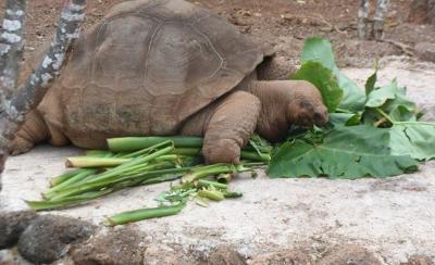 Galapagos tortoise Ecuador