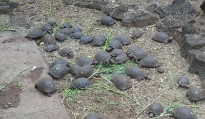 Tortoise conservation
