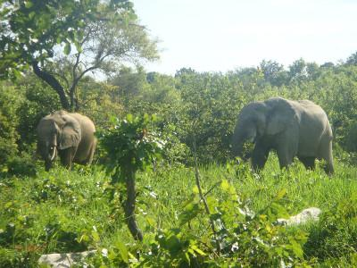Elephants at Mole National Park