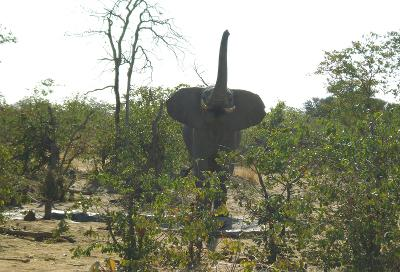 Elephant sighting in Botswana