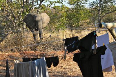 Elephant at Wild At Tuli