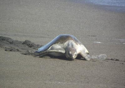 Adult turtle