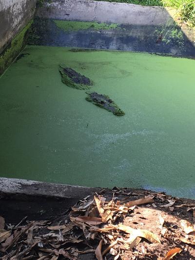 A crocodile enclosure before being cleaned by volunteers