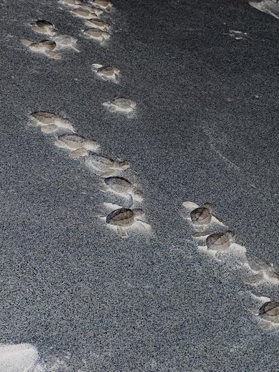 Baby turtles make their way to the sea on a Mexican black sand beach