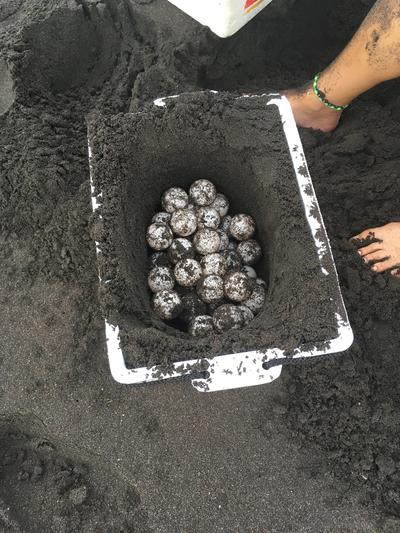 Burying turtle eggs in a safe enclosure