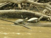 Taricaya turtles spotted on turtle census