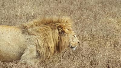 A lion spotted on safari in Tanzania