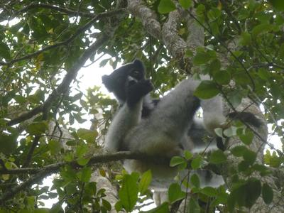 A lemur in a tree in Madagascar