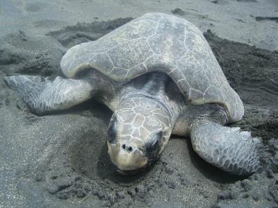 Adult Olive Ridley turtle