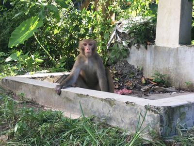 A monkey in Nepal