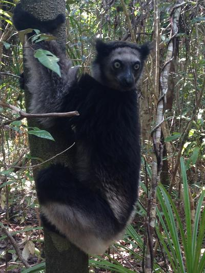 An indri spotted in a local wildlife reserve