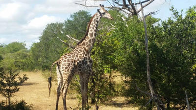 A wild giraffe seen on a game drive in Tanzania