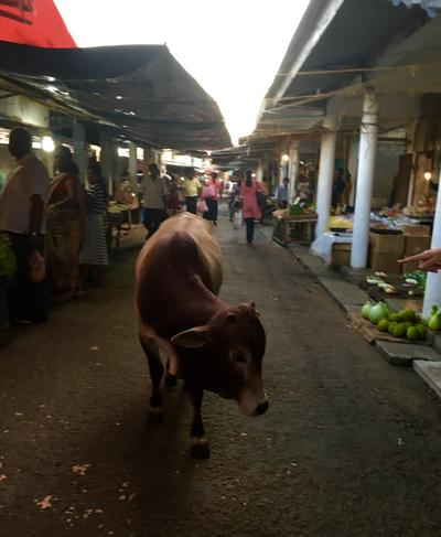 A cow on a Sri Lankan street