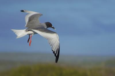 A swallow-tailed gull in the Galapagos