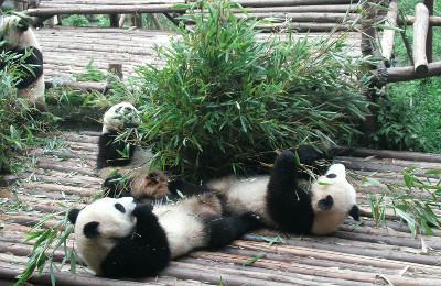Panda sanctuary