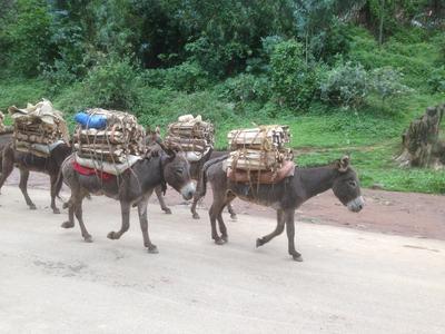 Donkeys carrying wood along a dirt road