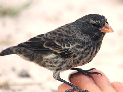 Darwin Finch Galapagos