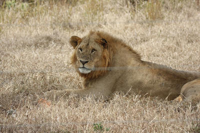 A lion spotted by Conservation volunteers