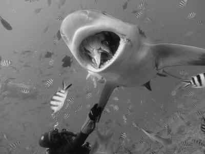 A shark feeding while volunteers observe