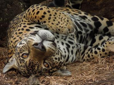 Jaguar Conservation Peru
