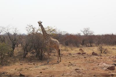 A giraffe spotted in Botswana