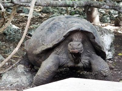 Tortoise spotting over the weekend in Ecuador