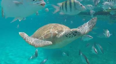 A sea turtle spotted in Belize