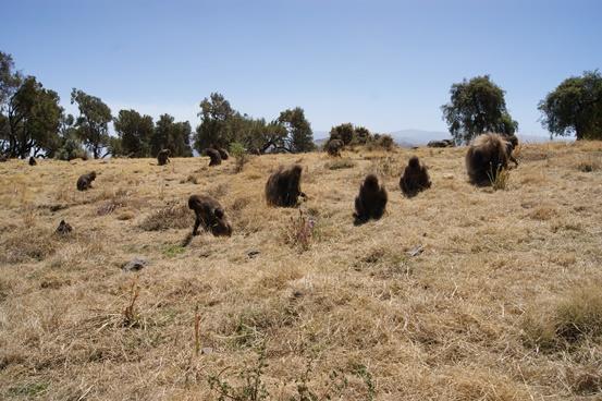 Simien mountains, en el norte de Etiopía Pasando un rato con los monos.