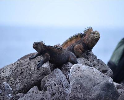 Iguane marin des îles Galápagos