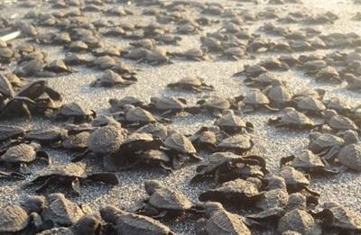 Relache de bébé tortues Mexique