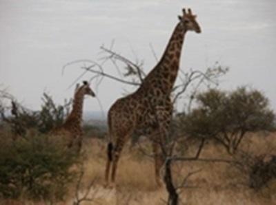 Une juste récompense après avoir coupé du bois toute la matinée: la visite des girafes