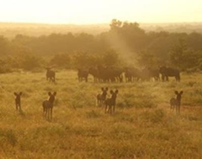 Ecovolontariat en Afrique du Sud  Wild dogs et gnous
