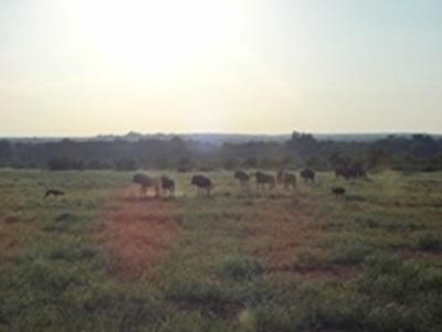 Wild dogs et Wildebeest