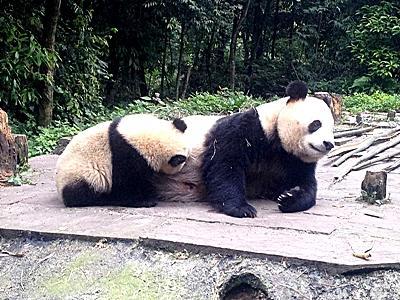 Projet soins animaliers de protection des pandas en Chine